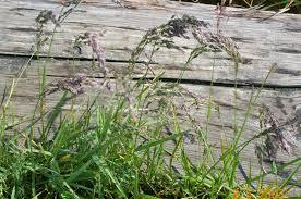 Poa trivialis Calflora