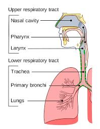 Trachea - Wikipedia
