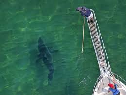 What you need to know about <b>sharks</b> off Cape Cod in 2020 | Boston ...