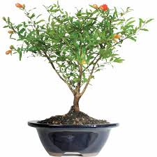 pomegranate bonsai tree add bonsai office interior