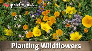 How to <b>Plant</b> and Grow Organic Wild <b>Flowers</b> - YouTube