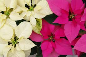 Dec. 12: National Poinsettia Day