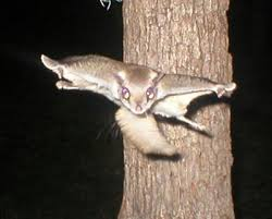 Image result for flying squirrel no copyright