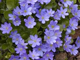Image result for hepatica