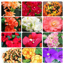 Compare prices on <b>Begonia</b> Plant - shop the best value of <b>Begonia</b> ...