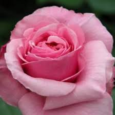Image result for harkness roses