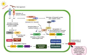 <b>Salicylic acid</b> and nitric oxide signaling in plant <b>heat</b> stress