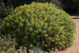 Euphorbia characias — Wikipédia
