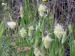 Lagurus ovatus L. {ID 4376} - Piumino - Forum Acta Plantarum