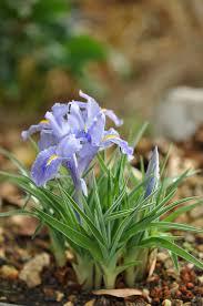 Iris planifolia – Wikipedia