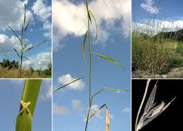 Cleistogenes serotina (L.) Keng subsp. serotina - Portale della Flora ...