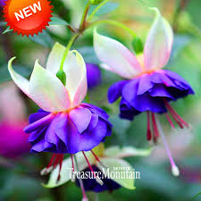 """Résultat de recherche d'images pour """"les fleurs de fuchsias bleu et blanc"""""""