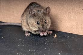 Eight Ways to Get Rid of Mice | Terminix