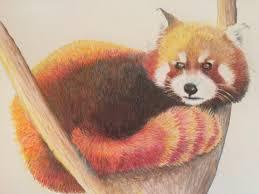 red panda pencil drawing realistic animal drawing prisma color drawing office art veterinarian gift wall art art drawing office