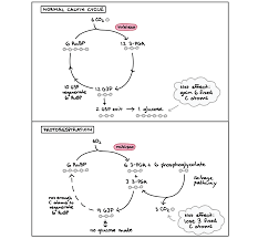 photorespiration article photosynthesis khan academy comparison of calvin cycle and photorespiration pathways