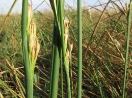 Juncus subulatus Forssk. | Flora of Israel Online
