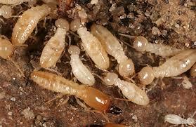 """Résultat de recherche d'images pour """"termite"""""""