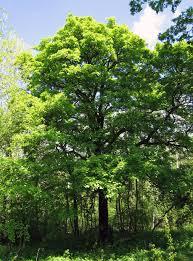 Sorbus torminalis - Wikipedia