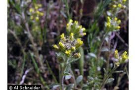 Plants Profile for Alyssum simplex (alyssum)