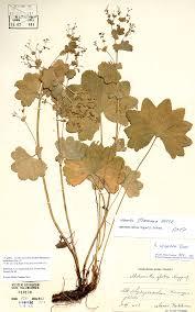 Alchemilla straminea in redetermined herbarium specimens – new ...