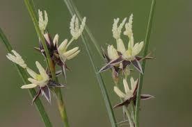 Juncus trifidus - Wikipedia