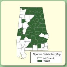 Leucanthemum vulgare - Species Page - APA: Alabama Plant Atlas