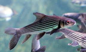 Jullien's <b>golden carp</b> - Wikipedia