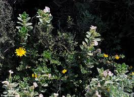Silene succulenta