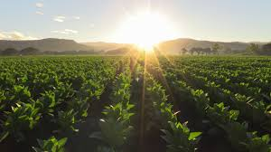 Image result for tobacco field images