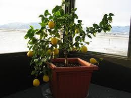 lemon tree x: meyer lemon tree growing in my sunroom located in central idaho snowy day december