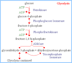 glycolysis  amp  fermentation