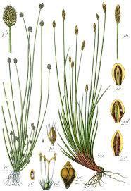 Eleocharis multicaulis — Wikipédia