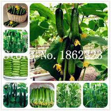 <b>Big Promotion</b>!! <b>100Pcs</b> Mini Cucumber Bonsai Rare Non GMO ...