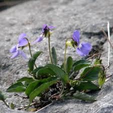 Viola canina | Online Atlas of the British and Irish Flora