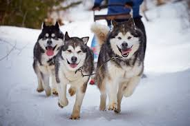 10 Best <b>Dog</b> Breeds for Cold Weather