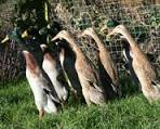 Indian Runner Ducks - eggs, pets and exhibition
