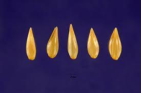 Plants Profile for Phalaris coerulescens (sunolgrass)