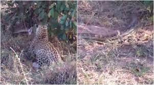 WATCH: This deadly match between two leopards battling a python ...