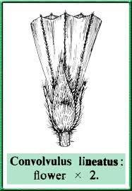 Convolvulus lineatus in Flora of Pakistan @ efloras.org