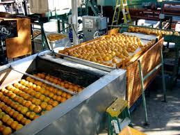 Resultado de imagem para fotos antigas de laranjais em limeira sp