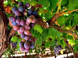 cluster of ripe grapes on a vine
