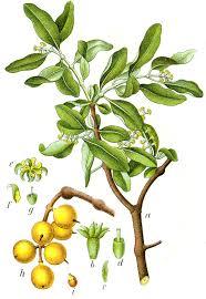 Loranthaceae - Wikipedia