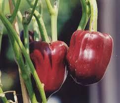 Manfaat dan khasiat paprika