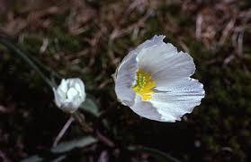 Flora del Pirineu català/Ranunculus pyrenaeus - Viquillibres