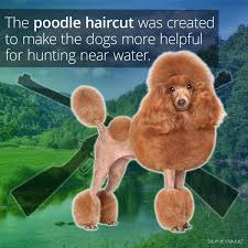 What's Up With Poodle Haircuts? - Smart Meme - ... via Relatably.com