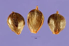 Plants Profile for Schoenoplectus americanus (chairmaker's bulrush)