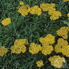 Plant Profile for Achillea tomentosa - Woolly Yarrow Perennial