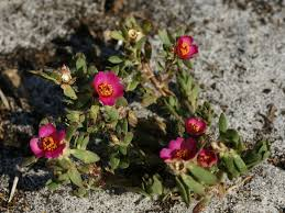 Portulacaceae - Wikipedia