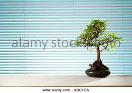 a bonsai tree by an office window stock image bonsai tree office window