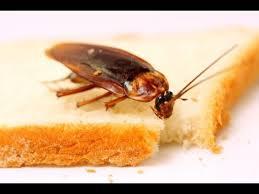 Resultado de imagen para cucarachas comiendo